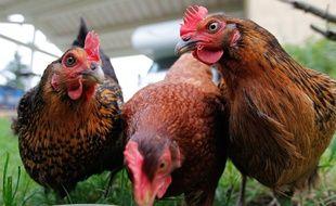Illustration de poules. CYRIL VILLEMAIN/20 MINUTES