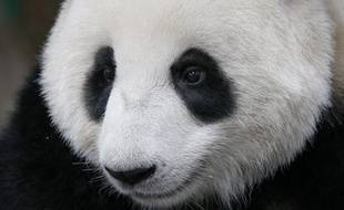 Nuan Nuan, le premier panda né en Malaisie, ici au zoo de Kuala Lumpur