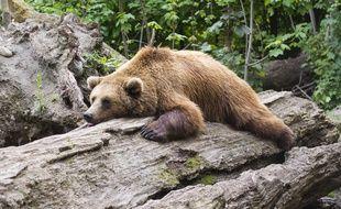 Illustration d'un ours brun.
