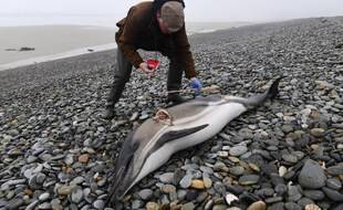 Un volontaire de Réseau National d'Echouage (RNE) réalise des prélèvements et des mesures sur le cadavre d'un dauphin retrouvé échoué sur une plage à Plovan, dans le Finistère.