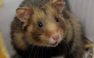 Bonne nouvelle! La population du grand hamster d'Alsace, espèce menacée, est en hausse (Archives)