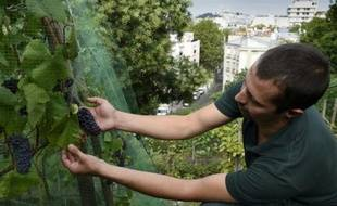 Un jardinier inspecte les grappes de raisin du vignoble de la butte Bergeyre, le 11 août 2015 à Paris