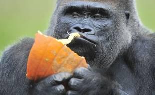 Le gorille Koko dans le zoo de Détroit en 2014.