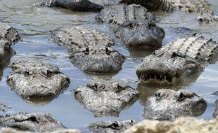 Des alligators en Floride (illustration).