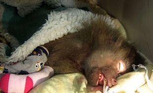 Tante Bessie, femelle babouin pensionnaire du zoo de Paignton, en Grande-Bretagne, récupère après ses deux arrêts cardiaques, le 21 janvier 2015.