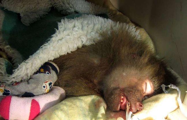 Un babouin ressuscité grâce à «Staying alive» des Bee Gees