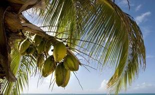 Des noix de coco sur un arbre.