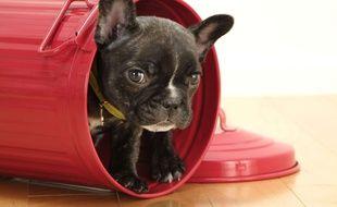 Ne vous fiez pas à cette petite bouille, attendrissante, prévient le reportage de CBS Los Angeles. Ce bouledogue français est un véritable chien de garde (photo d'illustration).