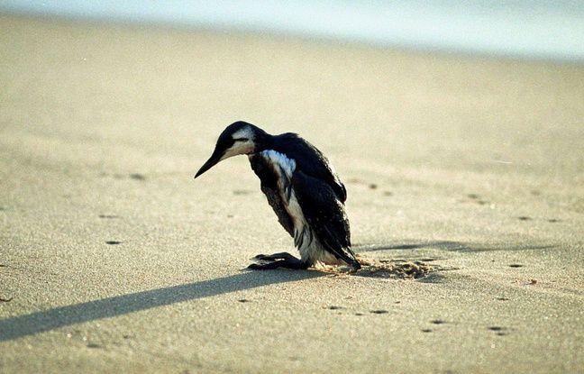Un oiseau plein de mazout marche sur la plage après le naufrage de l'Erika en décembre 1999.