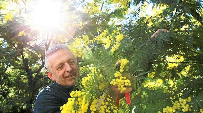 Le Tanneron se couvre de mimosa - 20minutes.fr