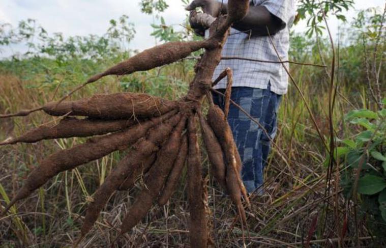 Le manioc, qui nourrit 500 millions de personnes dans le monde, est attaqué en Afrique par un virus en expansion d'Est en ouest à travers le continent. Un congrès de scientifiques et de donateurs réuni cette semaine en Italie va tenter de leur déclarer une guerre totale.