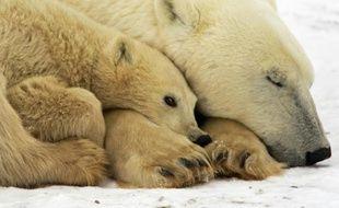 Une femelle ours polaire avec son petit, le 13 novembre 2007 sur la Baie de l'Hudson, au Canada