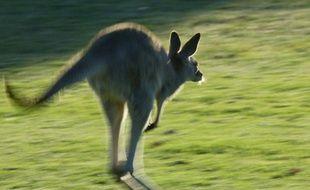 Un kangourou provoque la rupture des implants mammaires d'une cycliste en lui sautant dessus