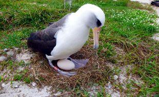 L'albatros sauvage Wisdom, alors âgée de 66 ans, en train de couver un oeuf en 2016 sur l'atoll de Midway (Hawaï).