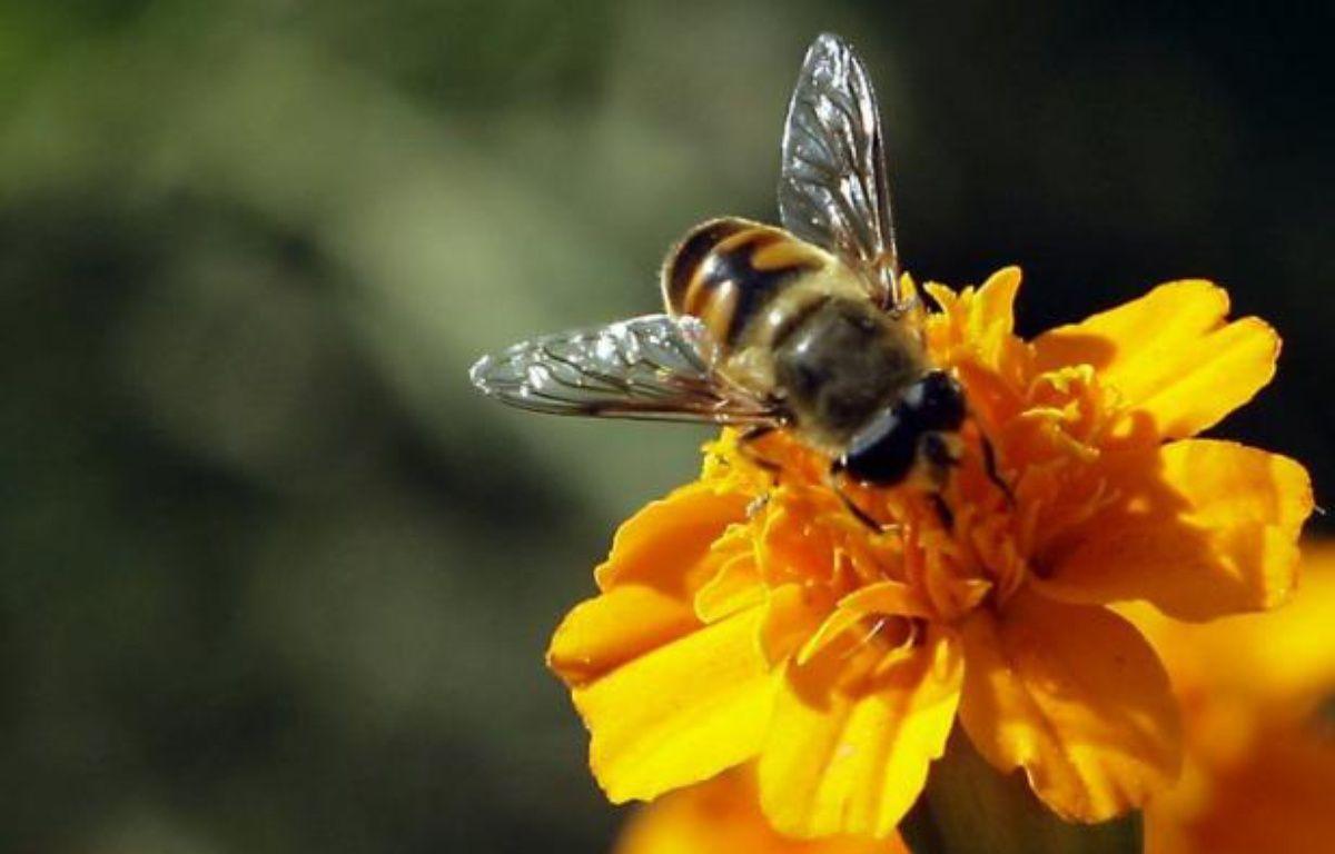 Des pesticides pouvant être utilisés pour sur les cultures ou dans les ruches perturbent le fonctionnement du cerveau des abeilles, affectant notamment leurs facultés de mémoire et d'orientation, selon une étude publiée mercredi. – Ali al-Saadi AFP