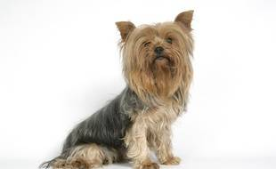 Un yorkshire terrier prend la pose. Illustration.