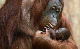 4ba57ec598f21 Illustration: Une maman orang-outan et son petit au zoo de Krefeld, en