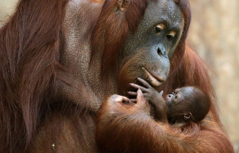 Beliebt Thaïlande: Deux bébés orang-outans sauvés des griffes de  FE63