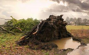 Illustration d'un arbre arraché par le vent.