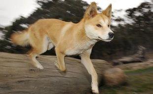 La justice a conclu qu'un bébé disparu il y a 32 ans dans le désert d'Australie avait été enlevé par un chien sauvage, un dingo, point final d'une affaire retentissante qui a passionné le pays pendant des décennies, et inspiré quantité de films et de livres.