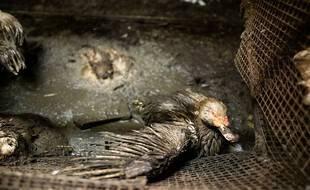 Un canard reproducteur présent dans le site des Pyrénées-Atlantiques dénoncé par L214