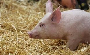 Un petit cochon (illustration).