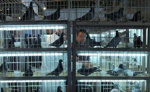 En mettant sur la table des dizaines de milliers d'euros pour un pigeon voyageur, de riches collectionneurs chinois révolutionnent le petit monde de la colombophilie belge, au détriment parfois des simples amateurs, dépassés par la mondialisation de leur hobby.