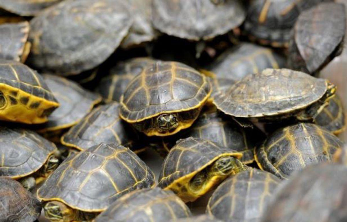 """Plus de 8.700 tortues, oiseaux ou reptiles ont été saisis lors d'une opération """"Cage"""" coordonnée par Interpol contre le trafic d'animaux dans 32 pays entre avril et juin, a indiqué mercredi l'organisation policière internationale. – Pornchai Kittiwongsakul afp.com"""