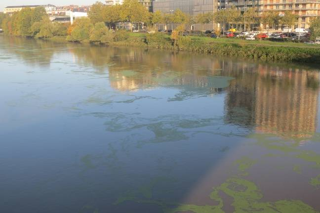 Les lentilles d'eau sur la Loire.