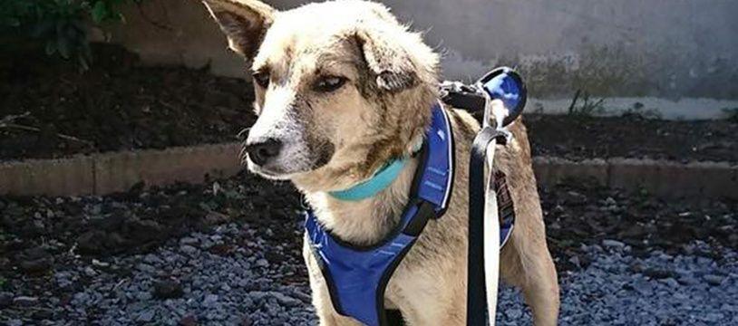 La chienne Opale, recherchée depuis près d'un mois.