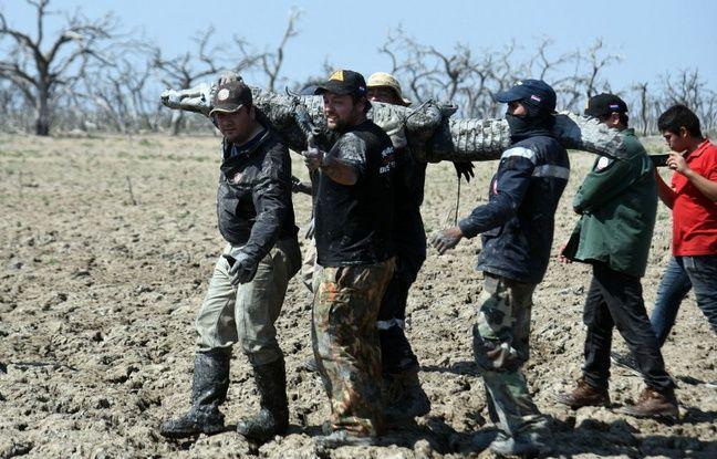 Des équipes de vétérinaires et fermiers tentent de sauver les caïmans du Chaco, département du Paraguay