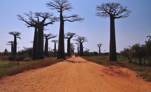 Le territoire malgache abrite six espèces différentes de baobabs sur les huit que compte l'ensemble de la planète.