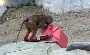Un babouin ouvre un cadeau de Noël au parc zoologique de Paris.
