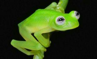 La grenouille découverte au Costa Rica