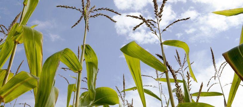 Un champs de maïs. Illustration.