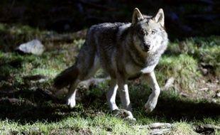 Un loup se promène dans le parc du Mercantour, le 13 novembre 2012 à Saint-Martin-Vesubie, dans le Sud-Est de la France