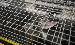 Un lapin Orylag, photographié le 19 septembre 2017, dans un élevage de l'ouest de la France. L'association L214 dénonce les conditions de promiscuité extrêmes que ces élevages intensifs imposent aux animaux.