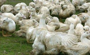 Le département du Gers, deuxième producteur de foie gras français, fait partie des 18 départements concernés par les mesures  de lutte contre l'épizootie de grippe aviaire
