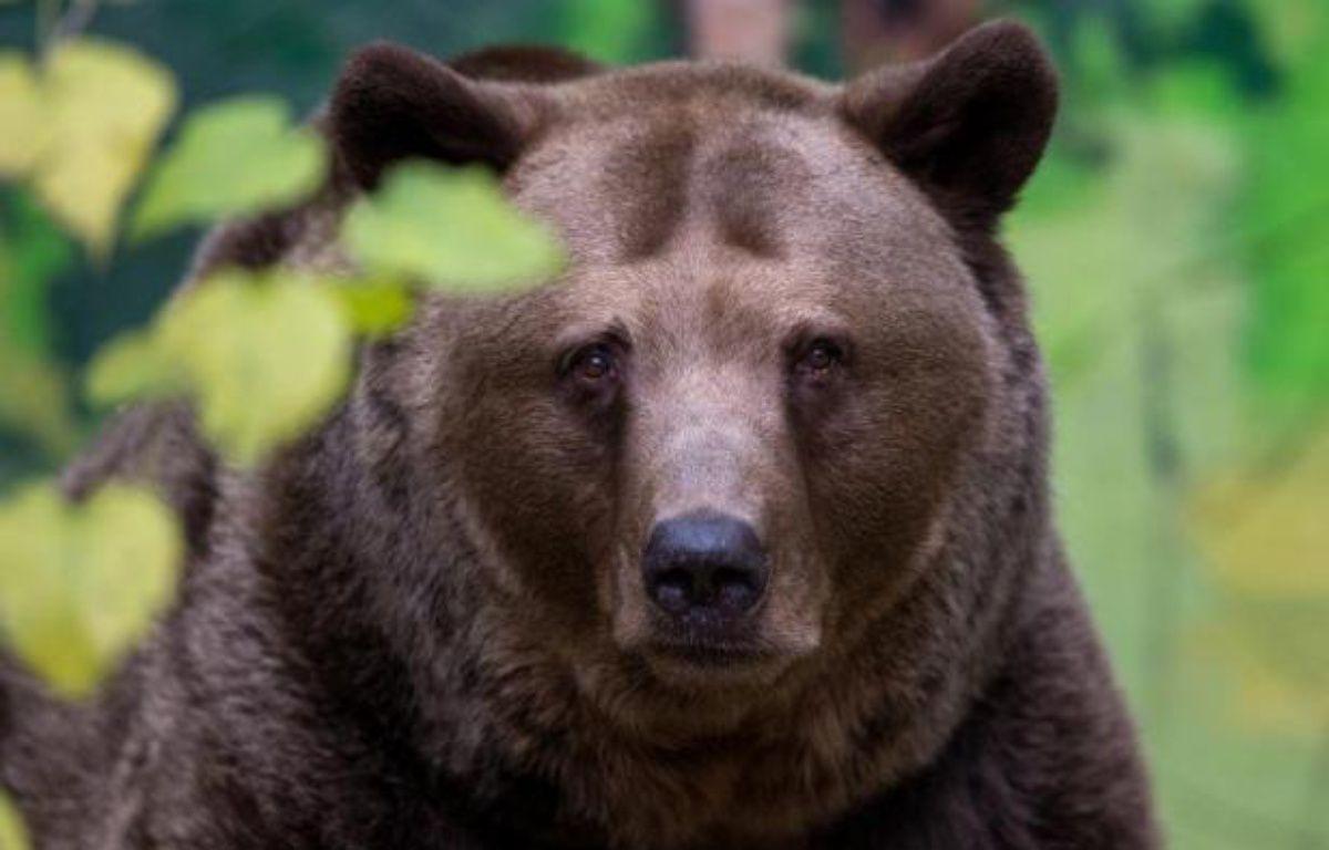 Un ours brun photographié le 13 novembre 2014 au zoo de Bratislava, en Slovaquie – Joe Klamar AFP