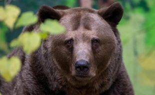 Un ours brun photographié le 13 novembre 2014 au zoo de Bratislava, en Slovaquie