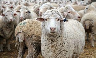 Un élevage de brebis (illustration).