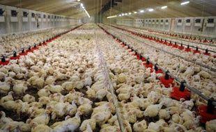 Des poulets élevés en batterie