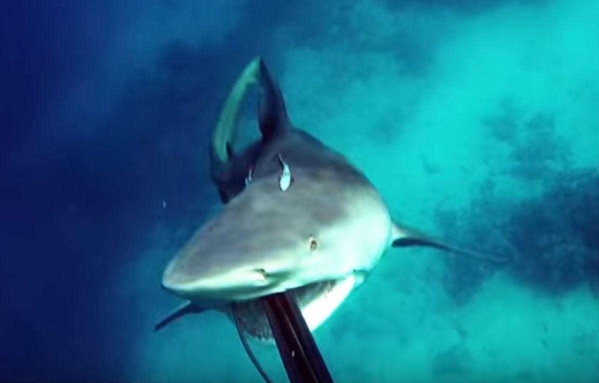 En Australie, un plongeur a été sauvé d'une attaque de requin par ses réflexes et son harpon, comme en témoigne une vidéo postée sur YouTube le 8 janvier 2017.  – Capture d'écran / YouTube