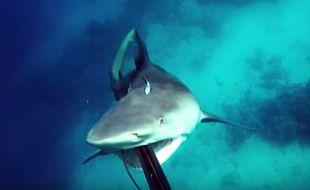 En Australie, un plongeur a été sauvé d'une attaque de requin par ses réflexes et son harpon, comme en témoigne une vidéo postée sur YouTube le 8 janvier 2017.
