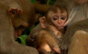 Allaitement chez les macaques.