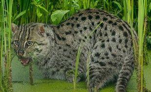 Un chat viverrin, félin aimant l'eauet spécialisé dans la chasse aux poissons.