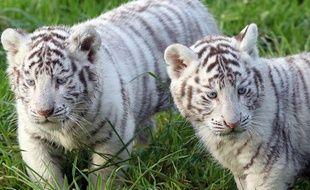 Des tigres blancs.