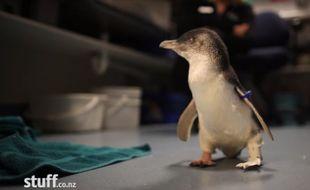 Bagpipes, le pingouin amputé vient de recevoir une prothèse réalisée grâce à une imprimante 3D.