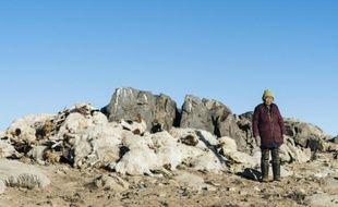 Photographie prise par la Croix-Rouge le 10 mars 2016 et transmise  le 18 mars 2016 montrant une éleveuse mongole devant son cheptel décimé