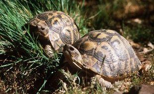 La tortue d'Hermann est la seule tortue terrestre présente en France.